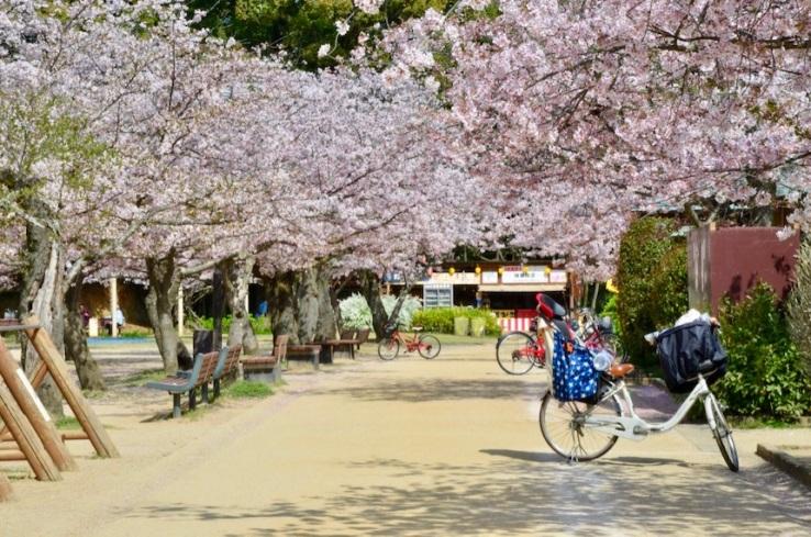Inseguendo i sakura - a Matsuyama: esplosione di ciliegi in fiore al Dōgo Kōen, il parco della città, che occupa un'area su cui un tempo c'era un castello