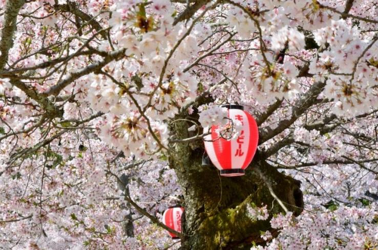 Inseguendo i sakura - Matsuyama: lanterna appesa ad un albero di ciliegio nel pieno della fioritura al Dōgo Kōen, il parco di Matsuyama, in Shikoku